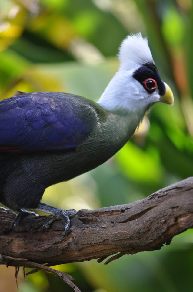 Featured image: White-crested Turaco 2