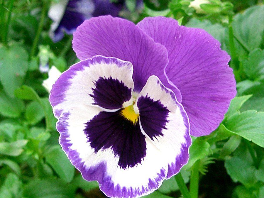 _Violet Love_