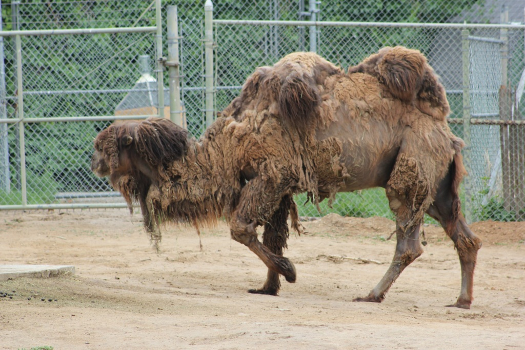 Hairy Camel