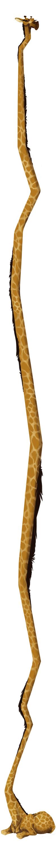 30 inches of Giraffe
