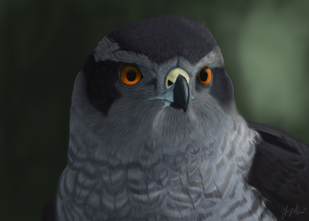 Forest Hawk