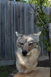 Coyote Pedestal
