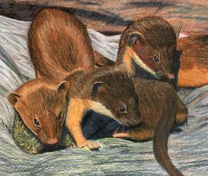 Three Weasels