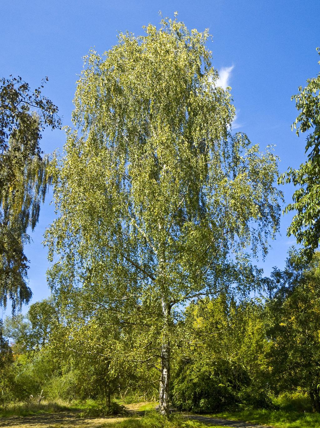 The Birch Lantern