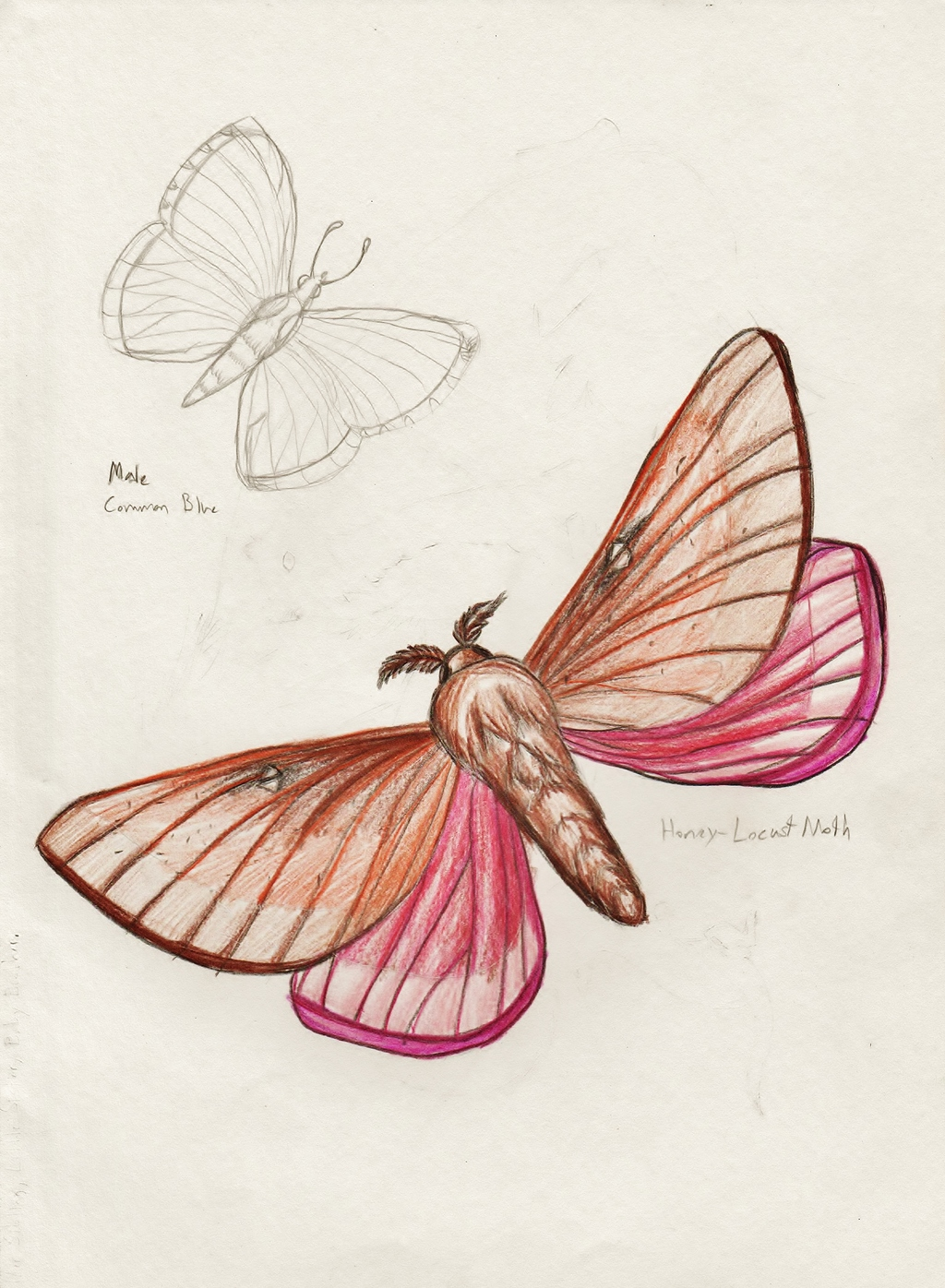 Butterfly and Moth Sketches