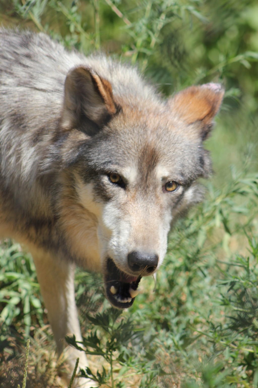 Wolf With Dropped Jaw