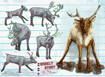 WeeklyStudies V2 #11 Reindeer