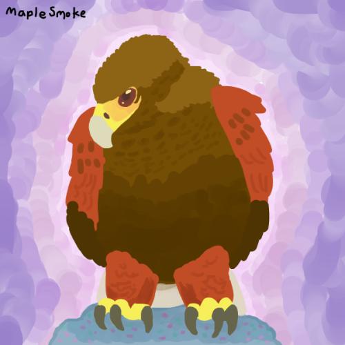 Most recent image: Soft Harris's hawk