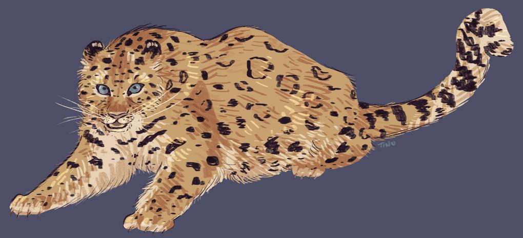 kynse amur leopard