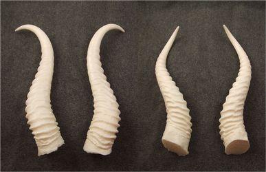 Type #10 resin horns - Springbok