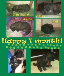 Puppies @ 1 month