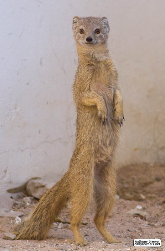Standing mongoose