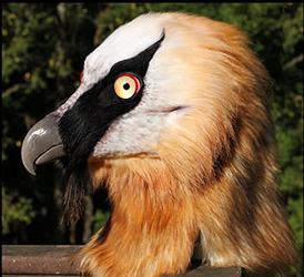 Kleiveer the Bearded Vulture