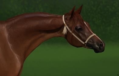 Arabian horse study.
