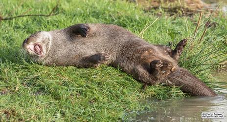 Tummy of otter