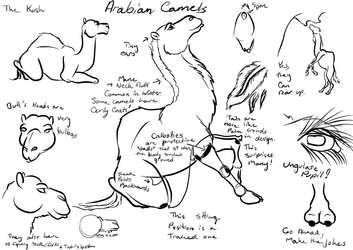 Basic Camel Anatomy Info