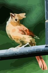 Juvenile Cardinal - Vector