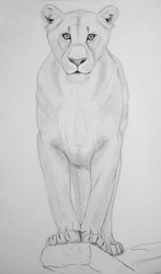 Lioness front