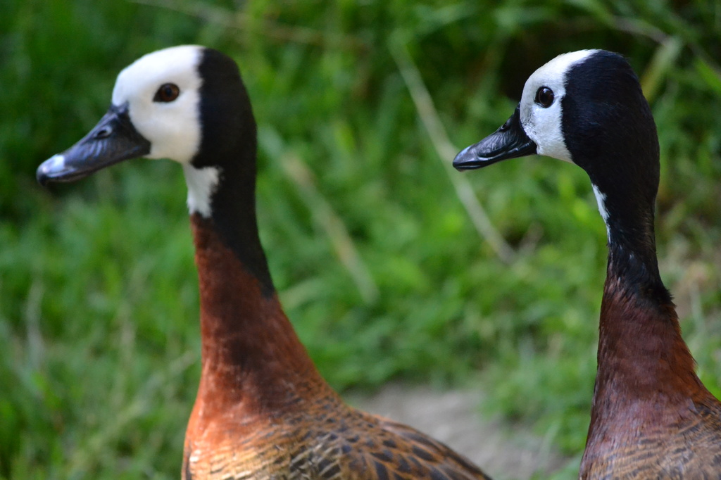 Cool Ducks