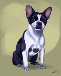 Buddy Boston Terrier Commission