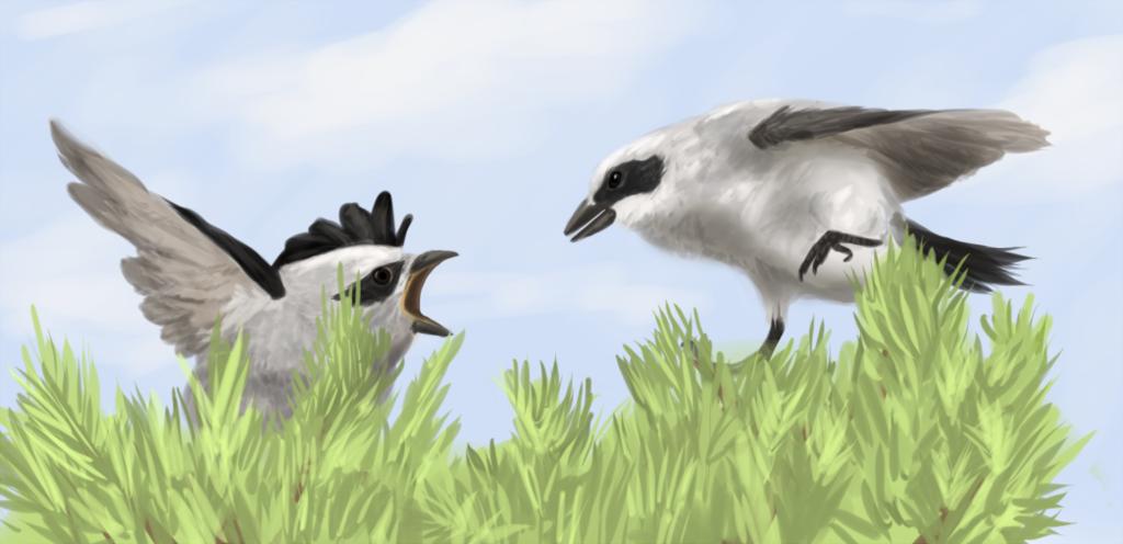 Northern Shrike Speedpaint