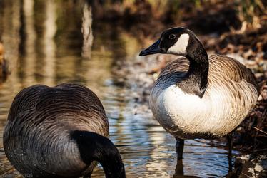 Canada Goose(es)
