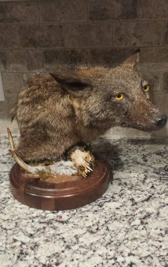Brindle Coyote '15