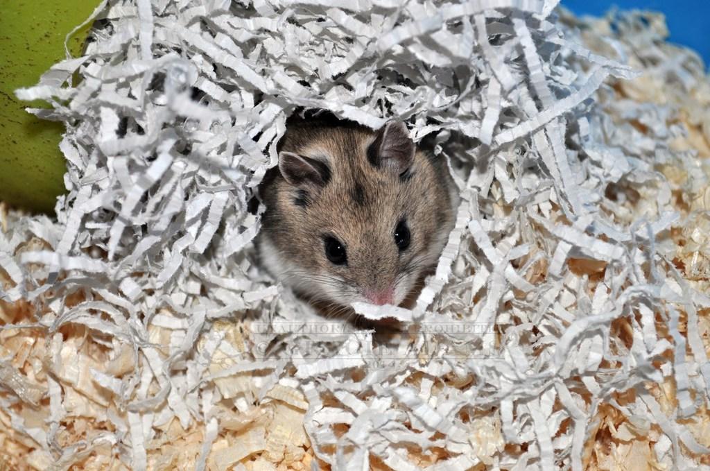 Kato, Chinese Dwarf Hamster III