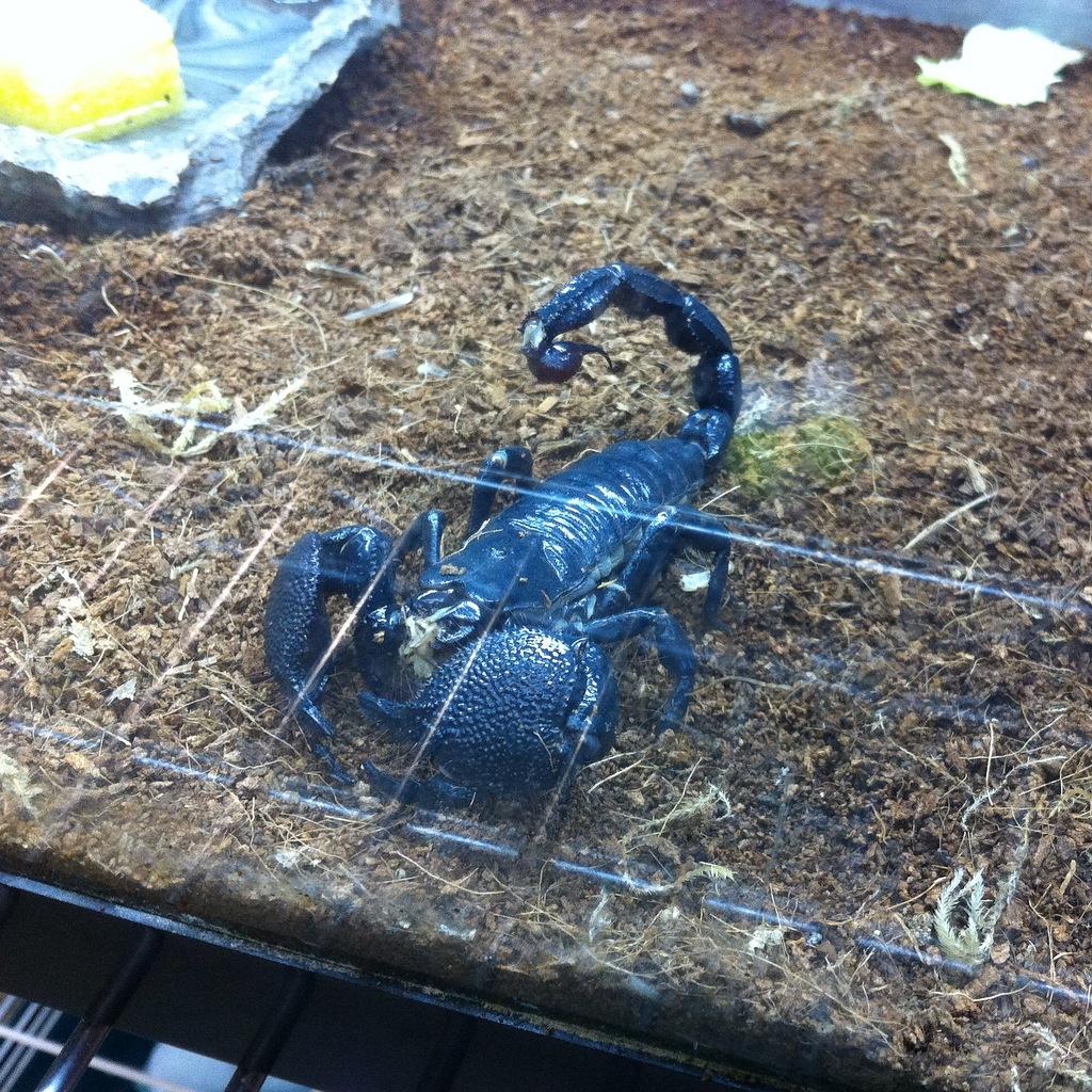 Midnight the scorpion