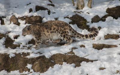 Snow Leopard - 2