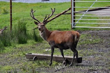 Captive Red Deer
