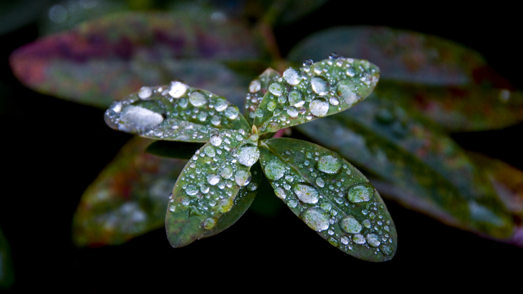 Leaves with Dewdrops