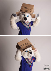 A arctic wolf with a box ;p