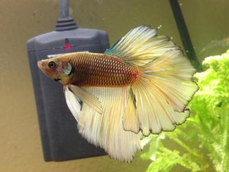 Another Betta pic