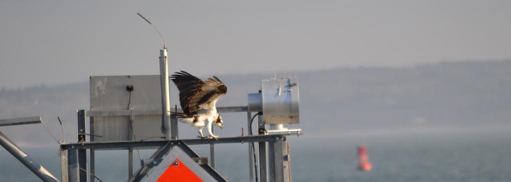 First Osprey