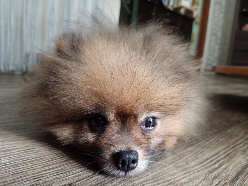 Most recent image: Pomeranian awake