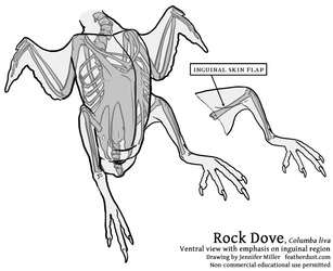 Rock Dove - Ventral Anatomy