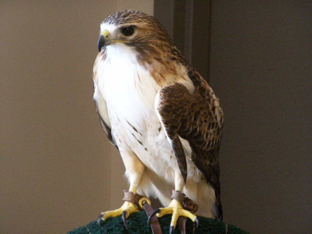 Red-Tailed Hawk Full Frontside