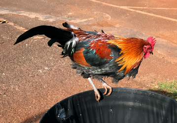 Hawaiian rooster hunts for food