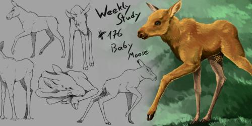 WeeklyStudies #176 Baby Moose
