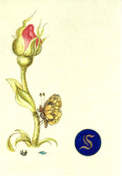 Rose bud and Butterfly