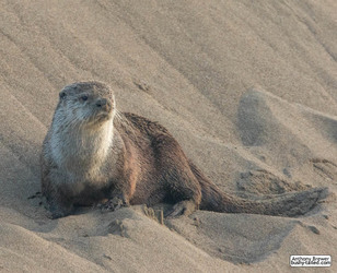 Sandbank with otter