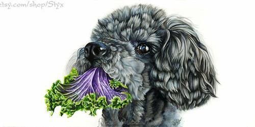 Caniche avec chou frisé violet et des yeux émouvant