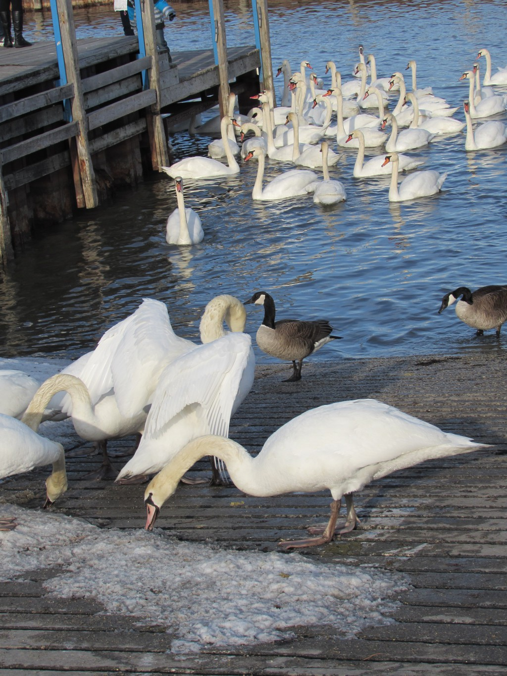 a couple of geese and lots of swans