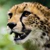 Avatar for Cheetahs