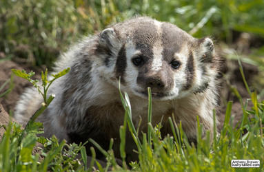 Better be badger