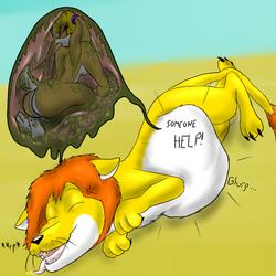 Lion digesting Lola