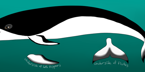southern right whale dolphin OC
