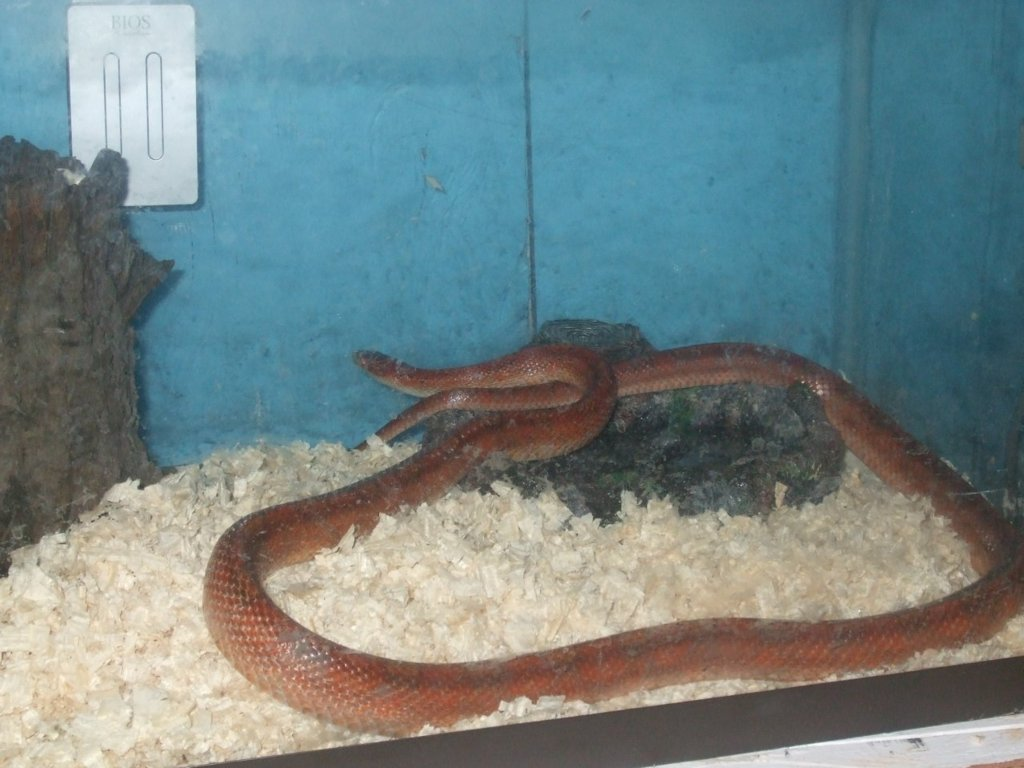 Old Red my Snake
