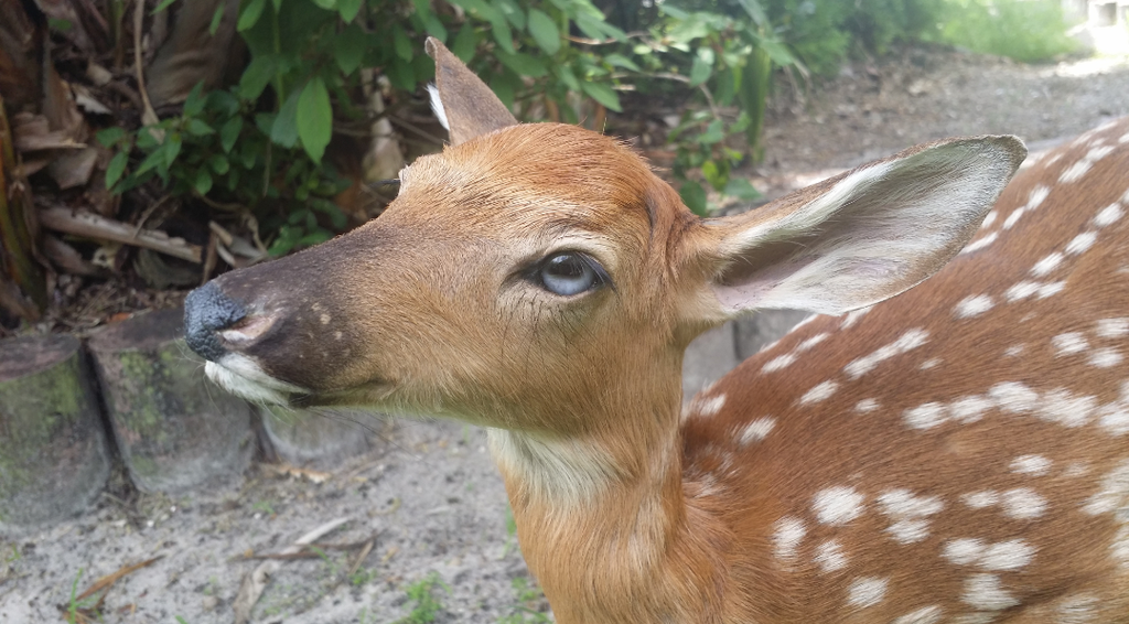 Most recent image: Tea the Whitetail Fawn